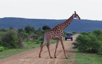 Mercedes Maybach G650 Landaulet passeia na savana africana